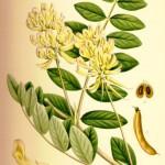 Astragalus_glycyphyllus