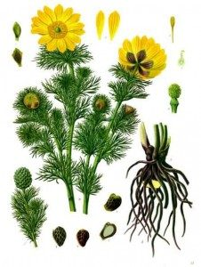 Растение адонис ядовито