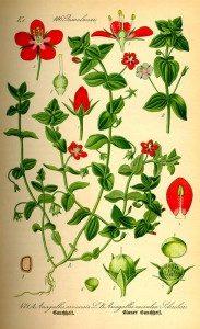 ochnuy-cvet