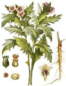 belladonna-ili-krasavka