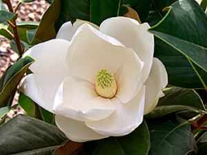 magnoliya-krupnocvetnaya