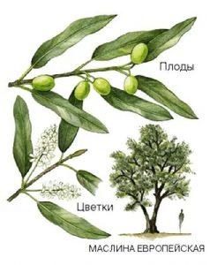 maslina-evropejjskaya-ili-olivkovoe-derevo