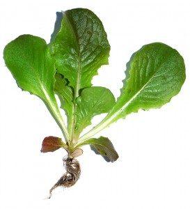 salat-latuk