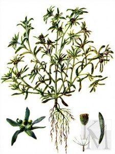 suchenica